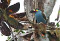 Plate-billed Mountain-Toucanborder=