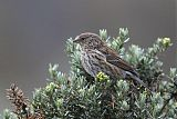 Plumbeous Sierra-Finch