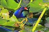 Purple Gallinuleborder=