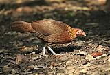 Red Junglefowl