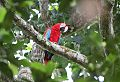 Red-and-green Macawborder=
