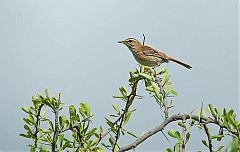 Red-backed Scrub-Robin