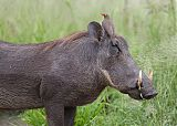Red-billed Oxpecker
