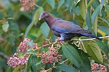 Red-billed Pigeonborder=