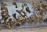 Red-billed Queleaborder=