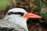Red-billed Tropicbirdborder=