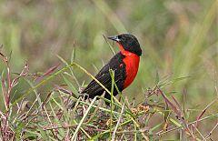 Red-breasted Meadowlark