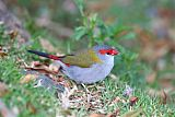 Red-browed Firetailborder=