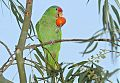 Red-crowned Parrotborder=