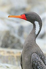 Red-legged Cormorant