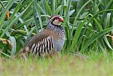Red-legged Partridgeborder=