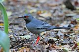 Red-legged Thrushborder=