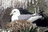 Red-legged Kittiwake