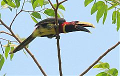 Red-necked Aracari