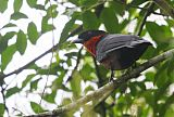 Red-ruffed Fruitcrowborder=
