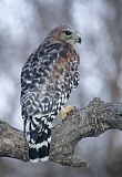 Red-shouldered Hawkborder=