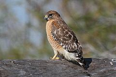 Red-shouldered Hawk
