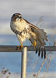 Red-tailed Hawkborder=