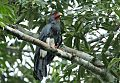 Red-throated Caracaraborder=