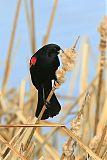 Red-winged Blackbirdborder=