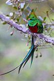 Resplendent Quetzalborder=