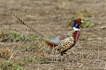Ring-necked Pheasantborder=