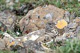 Rock Ptarmigan