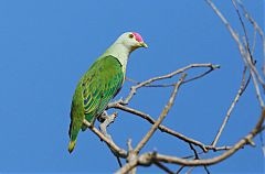 Rose-crowned Fruit-Dove