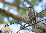 Rose-throated Becardborder=