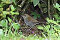 Ruddy-capped Nightingale-Thrushborder=
