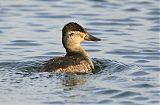 Ruddy Duckborder=