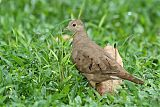 Ruddy Ground Dove