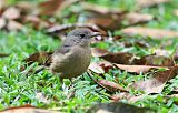 Little Shrikethrush