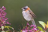 Rufous-collared Sparrowborder=
