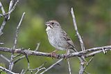 Rufous-crowned Sparrowborder=
