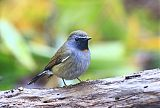 Rufous-gorgeted Flycatcherborder=