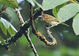Rufous-naped Greenletborder=