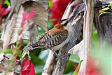 Rufous-naped Wrenborder=
