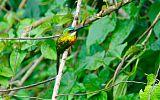 Rufous-tailed Jacamarborder=