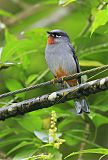 Rufous-throated Solitaireborder=