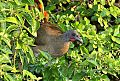 Rufous-vented Chachalacaborder=