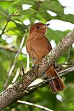 Rufous Mournerborder=