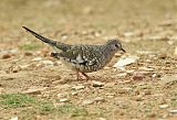 Scaled Dove