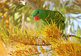 Scaly-breasted Lorikeetborder=
