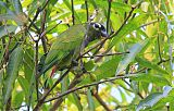 Scaly-headed Parrotborder=