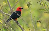 Scarlet-headed Blackbirdborder=