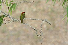 Scarlet-hooded Barbet