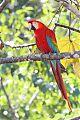 Scarlet Macawborder=