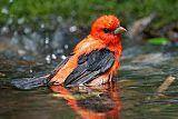 Scarlet Tanagerborder=