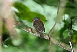 Semicollared Puffbird